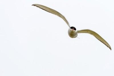 Angry Bird - Küstenseeschwalbe